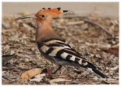 Hud Burung Apa Dalam Sehingga Istimewanya Gambar