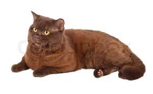 new home floor plans free scottish fold chocolate cat on a white background stock photo colourbox