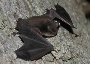 Super Fruit Fans  Meet The Jamaican Fruit Bat  U2013 Ocean Wise