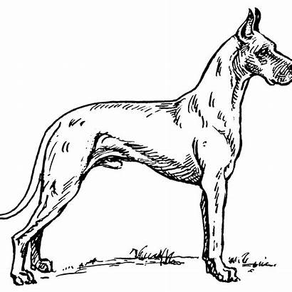 Coloring Dane Pages Dog Popular Adults