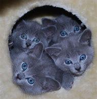 Cute Cat Russian Blue Kitten