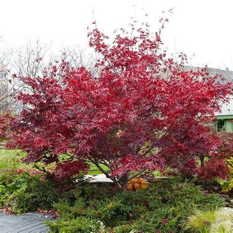 planting japanese maple trees grow japanese maples anywhere