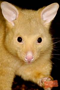 The Cutest Brushtail Possums Are Made Of Gold Featured
