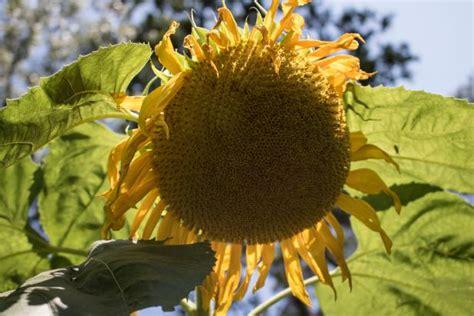 harvest  roast sunflower seeds diy