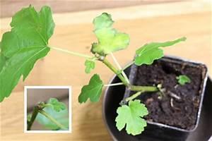 Feigenbaum Im Garten : feigenbaum echte feige ficus carica pflanzen pflege ~ Orissabook.com Haus und Dekorationen