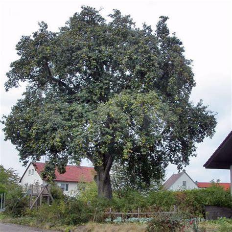 Bild Ein Sehr Alter, Stets Geschnittener Birnbaum In