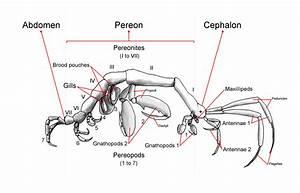 File Generalized Caprellid  Skeleton Shrimp  Body Plan