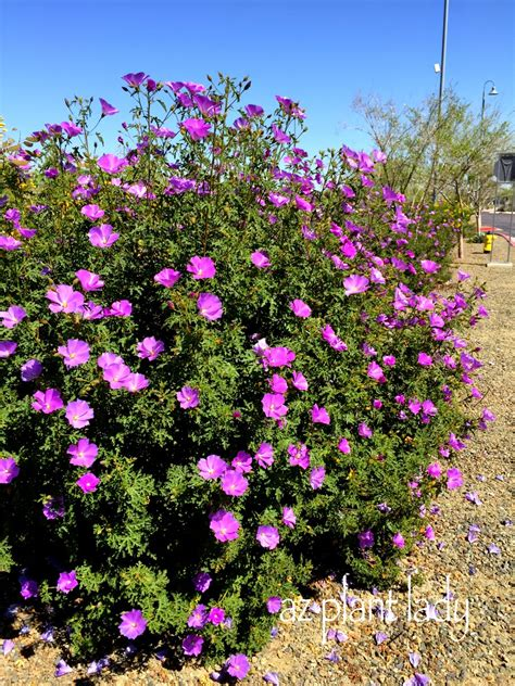 Ramblings From A Desert Garden Fussfree Purple
