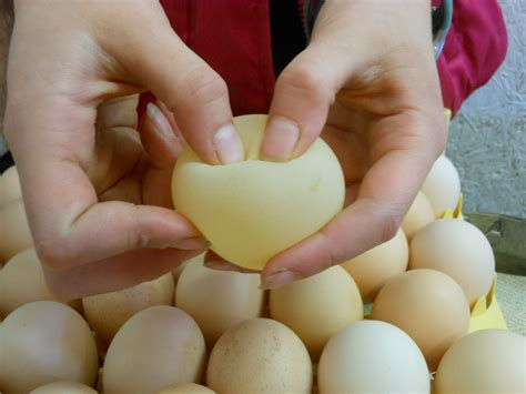 how are bird eggs fertilized chickens and eggs happily occupied homebodies