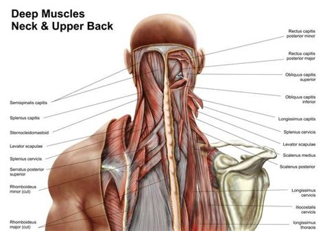 Deep Muscles Of The Back Human Anatomy Showing Deep Muscles In The Neck And Upper