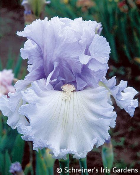 royal sterling tall bearded iris