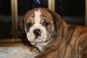 Beabull Puppies for Sale Indiana