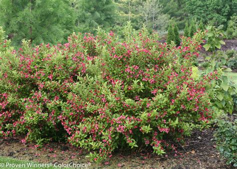 weigela shrubs ghost 174 weigela florida proven winners