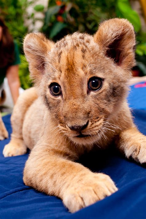 lion cubs  busch gardens animal fact guide