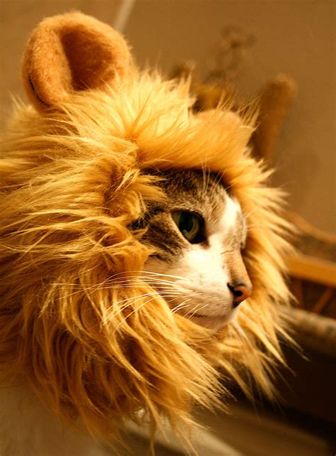 mane cat hat lions lion cats head gatto felina juba memes costume gatos leone copricapo tuo hats king dressed funny