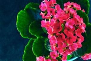 Lavendel Vermehren Wasserglas : flammendes k thchen ber ableger vermehren so geht 39 s ~ Lizthompson.info Haus und Dekorationen