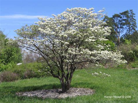 dogwood flowering tree cornus florida flowering dogwood large photos