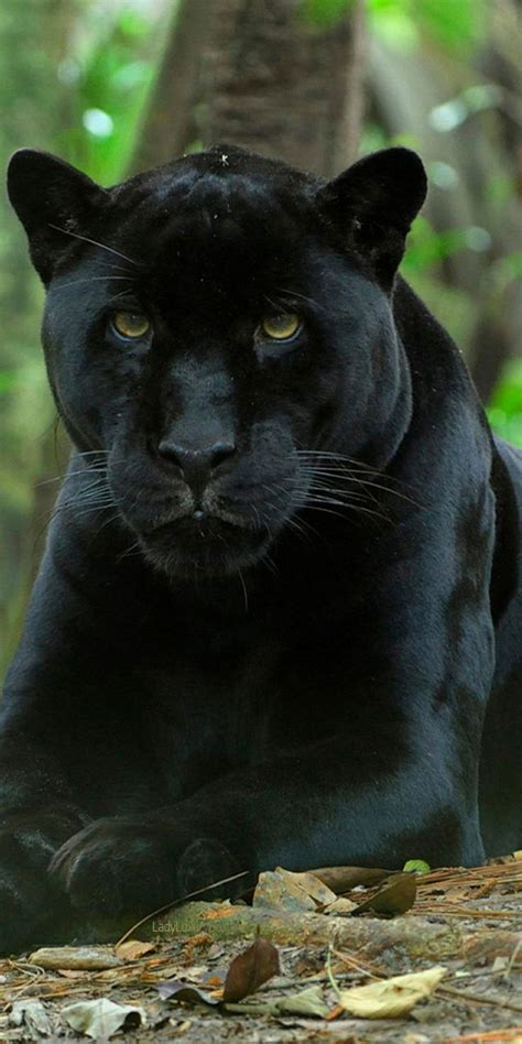 384 Best Black Panthers Images On Pinterest Big Cats