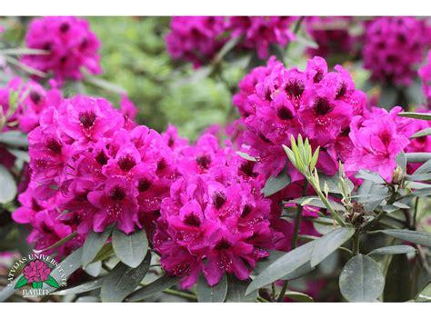 Latvijas stādi - Rhododendron 'Jānis' - mūžzaļais ...