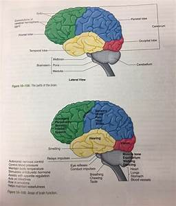 Parts Of The Brain And What They Control Quizlet