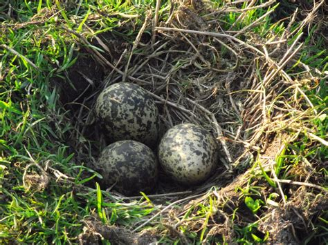 Caldertop Cottage Nature Diary: Lapwing Nests
