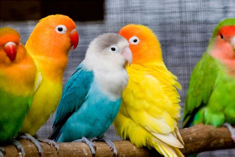 Download 10 Adorable and Cute Love Birds Wallpapers   Pet ...