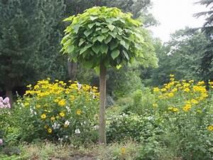 Baum Vorgarten Immergrün : 191 2 catalpa bignonioides nana kugel ~ Michelbontemps.com Haus und Dekorationen
