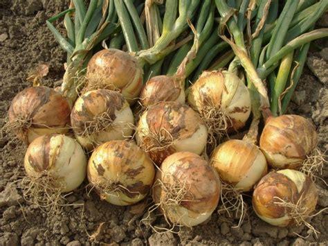 zwiebeln pflanzen anbau und ernte expertode