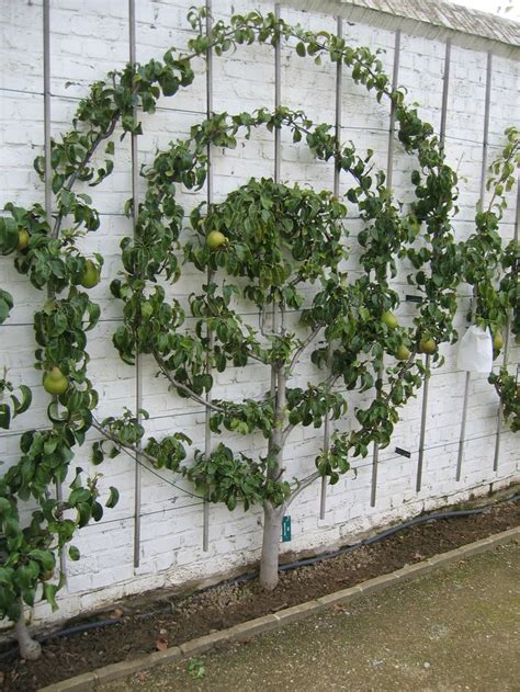 espaliered trees haus and home intro to espalier