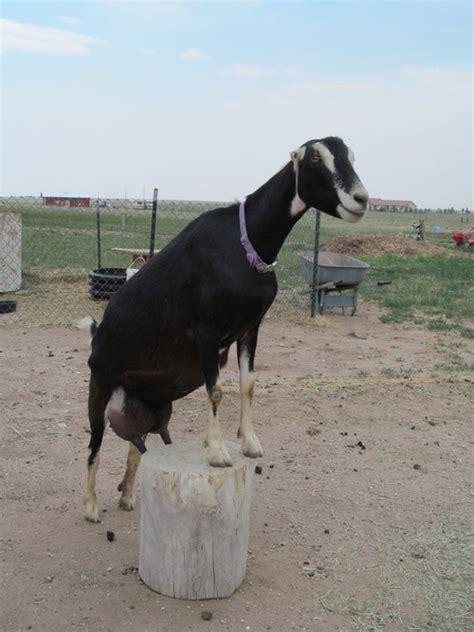 goatzz horizon bluffs lamanchas   goat farm located