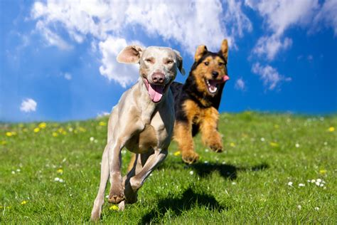 Pet ownership can limit access to standard homeowners insurance policies through rate hikes or even worse, excluding coverage altogether. How To Socialize An Adult Dog | Cesar's Way