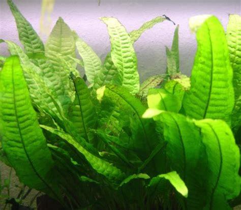 plante pour aquarium d eau froide 10 plantes d aquarium d eau douce pour les d 233 butants