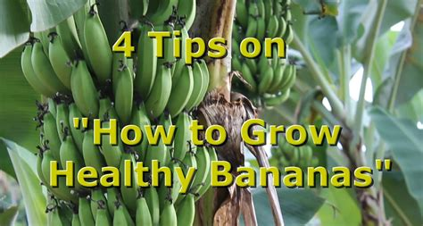"4 Tips On ""how To Grow Healthy Organic Bananas"" With"