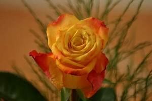 Gelb Rote Rosen Bedeutung : autor ~ Whattoseeinmadrid.com Haus und Dekorationen