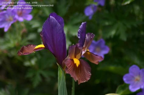 iris eye of the tiger plantfiles pictures dutch iris eye of the tiger iris x hollandica by greenorchid