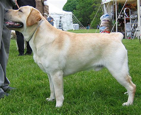 labrador retriever dog sporting dog breeds  dog