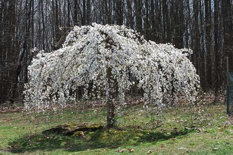weeping trees caring for a white weeping cherry tree feathers in the woods
