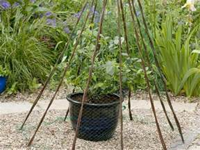 growing blueberries in pots saga