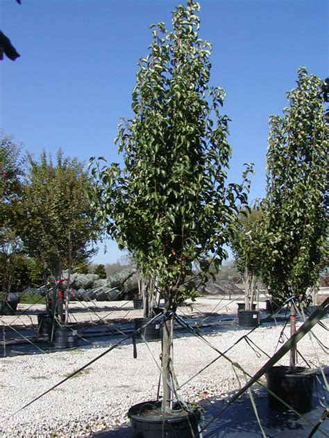 tree land nursery dallas texas cleveland select pear tree