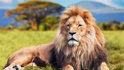 Lion Animals Desktop Wallpapers Backgrounds Mobile Ultra