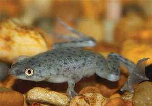 african dwarf frog care sheet petco