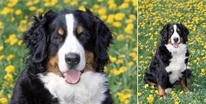 Berner Sennenhund Gewicht : berner sennenhund hunderassen lexikon ~ Markanthonyermac.com Haus und Dekorationen