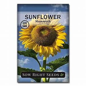 Top 6 Mammoth Sunflower Seeds  U2013 Flower Plants  U0026 Seeds  U2013 Sixoxo