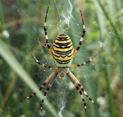 entomologie argiopes frelons ou argiope bruennichi et araign 233 es 224 toile g 233 om 233 trique araign 233 e