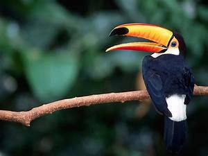 Screen Themes - Tropical Rainforest - Toco Toucan in Tree ...