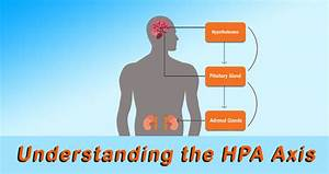 Understanding The Hpa Axis