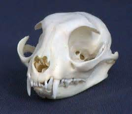 cat skull strange saber toothed cat carcus in az page 1