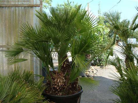 chamaerops humilis palmier nain petit arbre