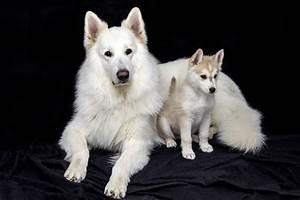 The Siberian Husky: A Guide to the Free-Spirited Companion ...