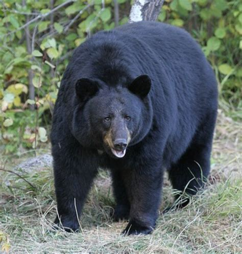pa bear hunters start season   bang rimersburg man